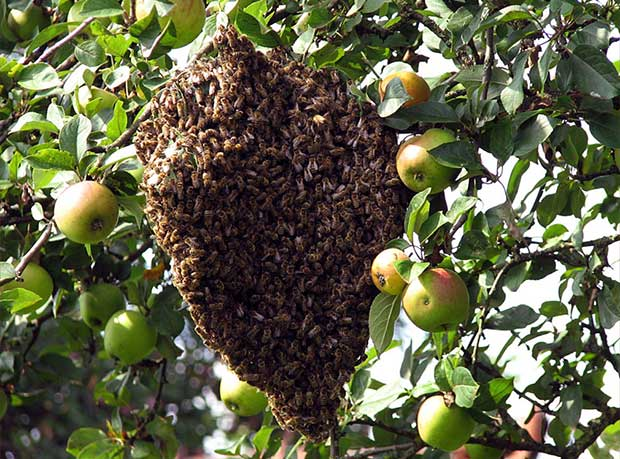 Bienenschwarm620
