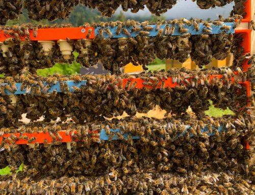Zucht von Bienenköniginnen