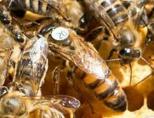 Verkauf von Bienenköniginnen